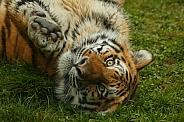 Amur Tiger Rolling On Back Reaching Towards Camera
