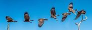 Harris Hawk Flight Sequence