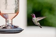 Male Anna's Hummingbird in flight