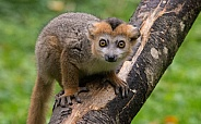 Crowned Lemur Young