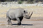 Black Rhinoceros - Etosha - Namibia