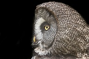 Great Grey Owl Side Profile Black Background