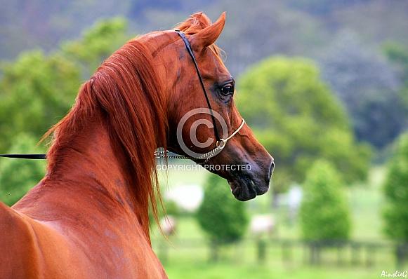 Arabian Stallion From Behind