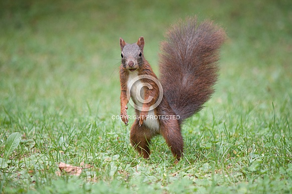 Little wild Eurasian red squirrel