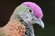 Fruit-dove ( Ptilinopus)