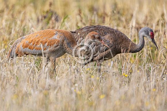 Sandhill Crane Adult with a Colt