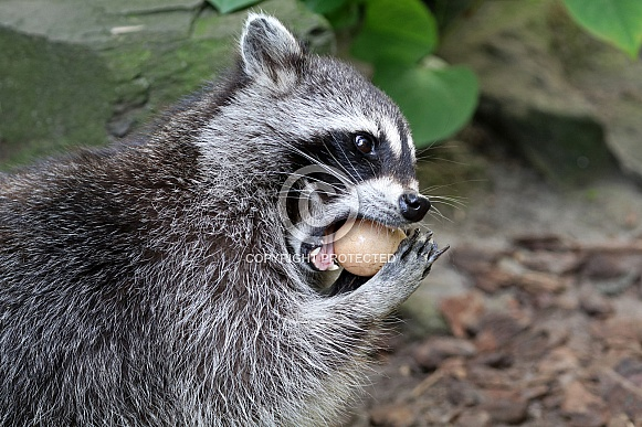 Raccoon eating egg