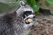 Raccoon eating egg
