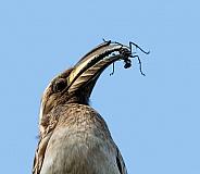 African Grey Hornbill With Bug