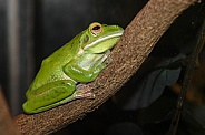 White-lipped Green Frog