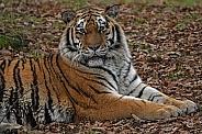 Amur Tiger - Close Up