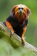 Goldenhead lion tamarin