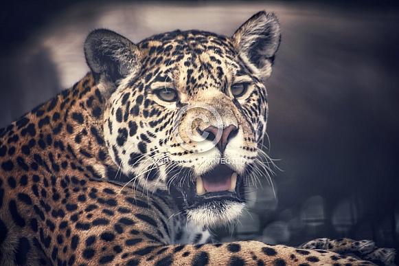Watching Jaguar