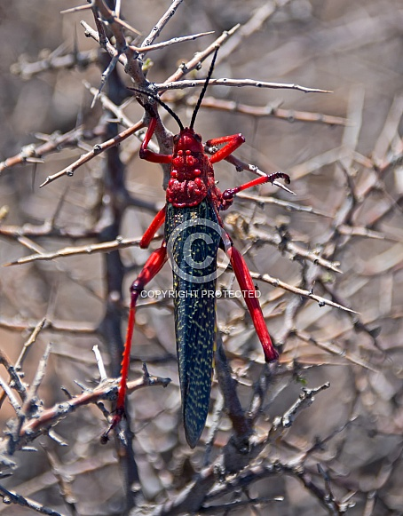 Common Milkweed Locust