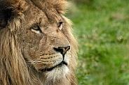 Close Up Face Shot African Lion