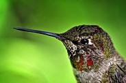 Hummingbird - Juvenile Anna's Portrait