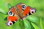 European Peacock butterfly (Aglais io)