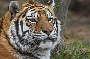 Female Amur Tiger