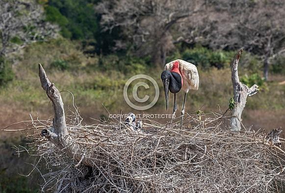 Jabiru Stork and Chicks