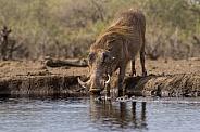 Southern Warthog