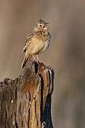 Rufousnaped Lark - Namibia