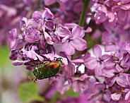 The Rose Chafer Beetle on Lilac