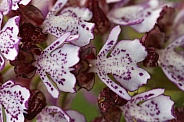 Lady orchid - flowers close up