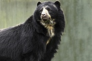 Andean Bear Standing Tall