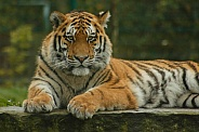 Amur Tiger Lying Down Looking At Camera