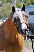 Partbred Arabian Stallion