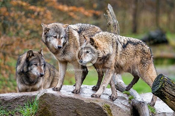 Grey Wolves