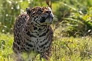 Jaguar Full Body Standing Looking Up