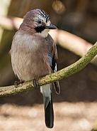 European Jay