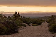 Yucca brevifolia, Joshua trees