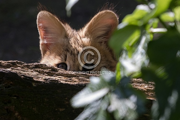 Hidden serval kitten
