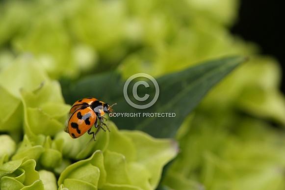 Transverse ladybird on hydrangea.