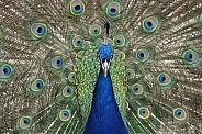 Peacock (Male)
