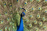 Male Peacock Close Up