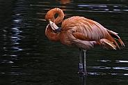 Caribbean Flamingo In The Water Full Body