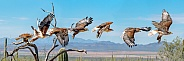 Ferruginous Hawk Flying Sequence