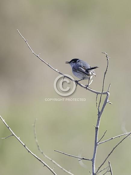 Black-tailed Gnatcatcher in Henderson, Nevada