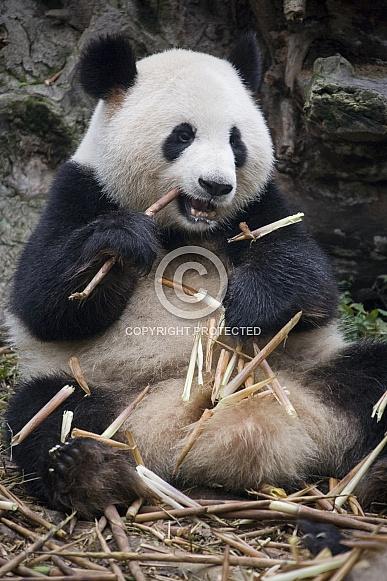 Giant Panda - (Ailuropoda melanoleuca) - China