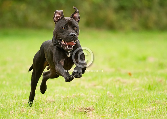 American Bulldog at Speed