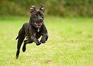 American Bulldog at Speed