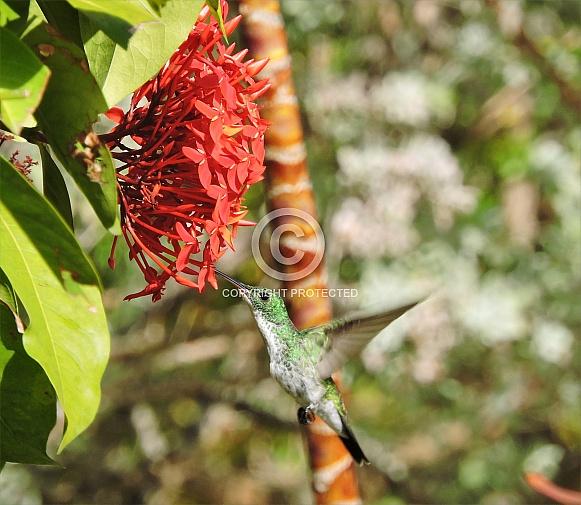 Plain-bellied Emerald Hummingbird