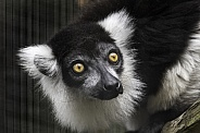 Black and White Belted Ruffed Lemur