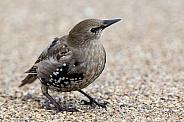 Juvenile Starling