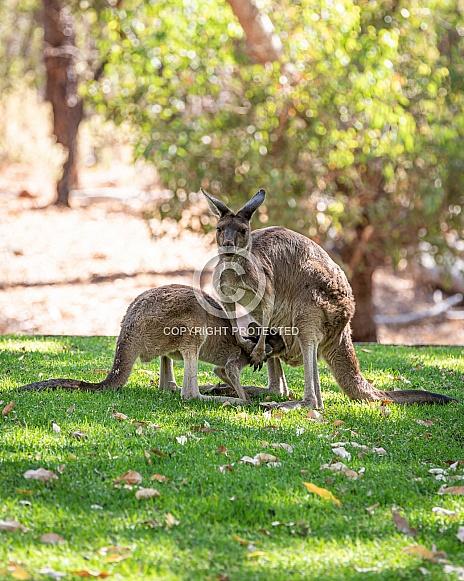 Kangaroo couple in park in Western Australia
