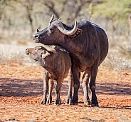 African Buffalo Mother And Calf