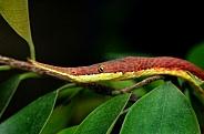 Malagasy leaf-nosed snake